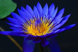 bluelotus 2